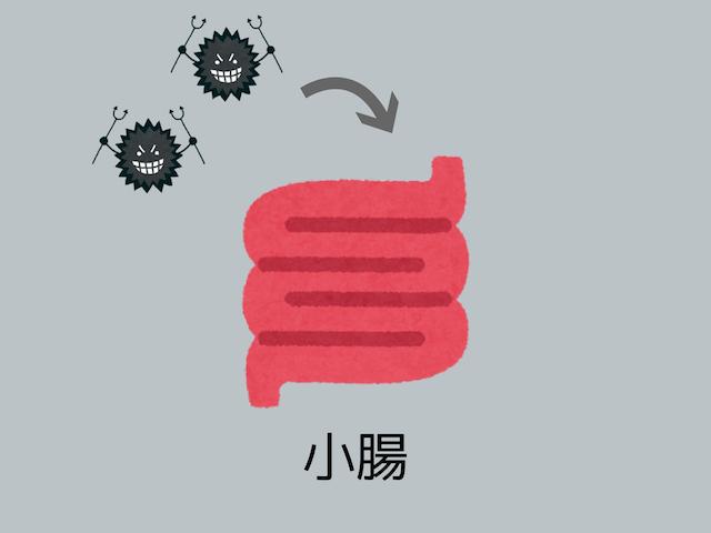 ばい菌が小腸に入るイラスト