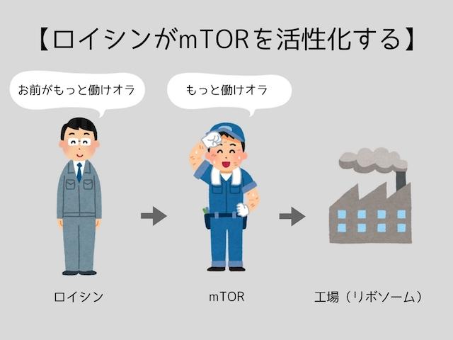 ロイシンがmTORを活性化する
