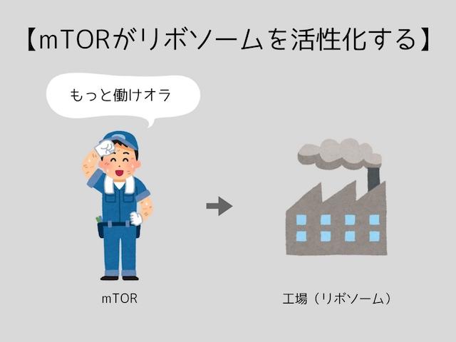 mTORがリボソームを活性化する
