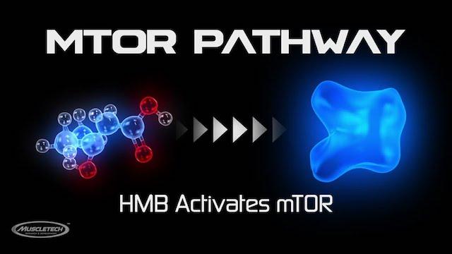 HMBはmtorを活性化するため、筋発達に有効