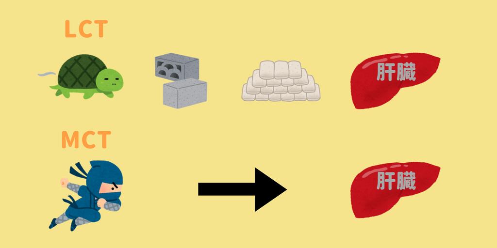 MCTは摂取すると直接肝臓へ行き、エネルギーになる